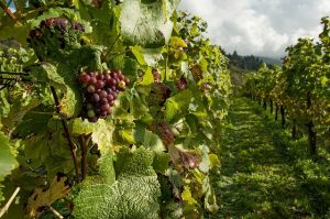 גרינצינג | סיור יין וקולינריה וינאית
